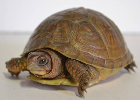 Small Three Toed Box Turtles For Sale