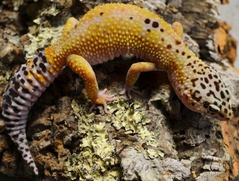 Adult Hypo Tangerine Leopard Geckos