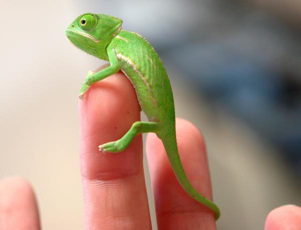 Jackson Chameleon Food List