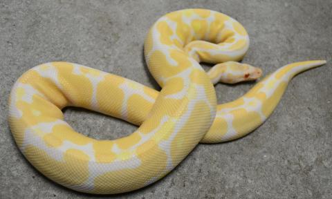 Adult Male Albino Ball Python