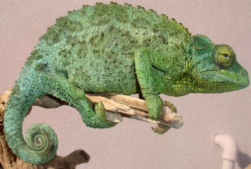 Crowned chameleons fischers and werners in stock chameleon forums