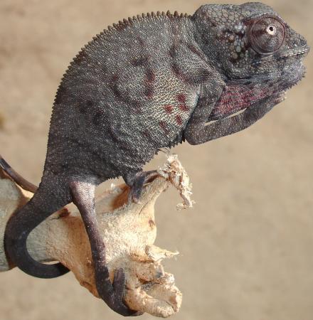 Baby Panther Chameleon Baby Blue Bar Ambilobe PantherBaby Ambilobe Panther Chameleon