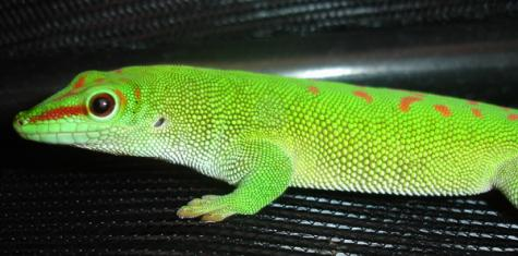Adult Male Giant Day Geckos. CB. size: 7 1/2 - 8 1/2