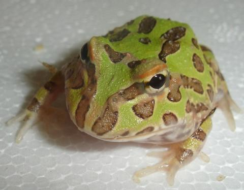 Baby Tree Frogs For Sale Baby Albino Pacman Frogs Sale