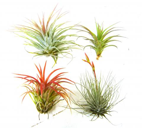 Air Plants Different Sizes Colors Types Available