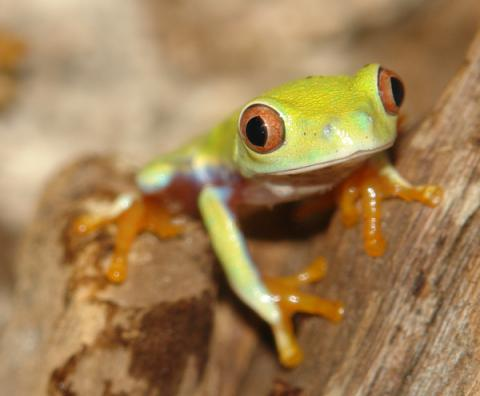 Baby Tree Frogs For Sale Baby Red Eyed Tree Frogs on