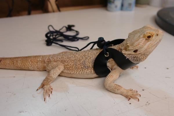 Reptile Harnesses & Leashes • Bearded Dragon . org