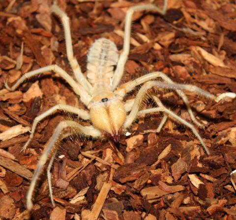Ghost Ornamental Tarantula Ornamental Baboon Tarantula