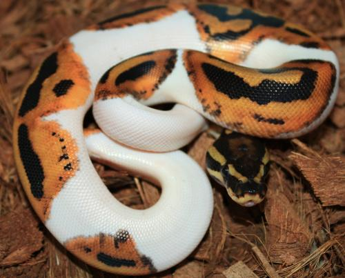 Ball Python Morphs and More available!