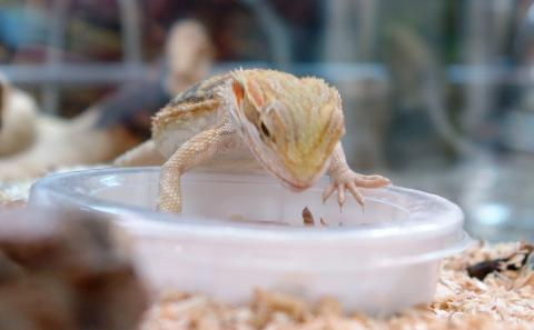 Bearded Dragons quickly figure out when food items are offered in dishes, such as this specially designed mealworm dish.