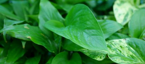 Try Pothos Plants!