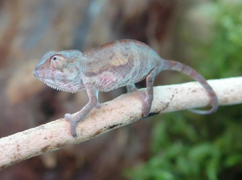 Looking for affordable  beautiful baby panther chameleons  Check out    Baby Ambilobe Panther Chameleon