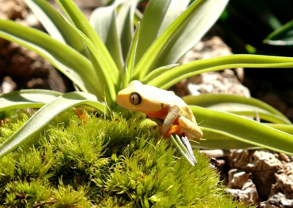 Baby Tree Frogs For Sale Baby Tomato Frogs on Sale